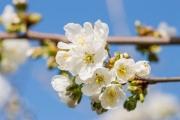 Makro mit Nikon D3200 und Tamron 90/2.8: Kirschblüte