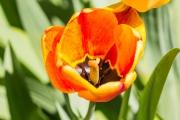 Makro mit Nikon D3200 und Tamron 90/2.8: Tulpenblüte