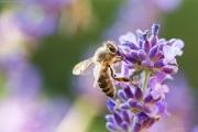 Nikon D3200 Makro: Biene an Lavendelblüte