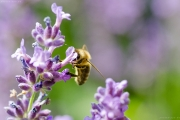 Honigbiene (Apis mellifera) an Lavendelblüte