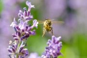 Honigbiene (Apis mellifera) im Landeanflug auf eine Lavendelblüte