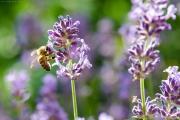 Nikon D7000 Makro: Honigbiene (Apis mellifera) an Lavendelblüte