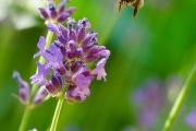 Nikon D7000 Makro: Honigbiene (Apis mellifera) im Landeanflug auf eine Lavendelblüte