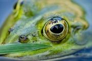 Auge eines Teichfroschs