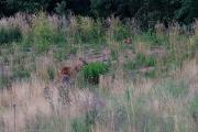Reh und Fuchs in der Abenddämmerung