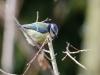 Blaumeise (Cyanistes caeruleus) mit AF-S 300/4D IF-ED