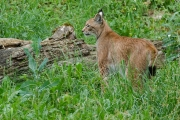 Luchs im Wildpark Bad Mergentheim