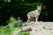 Wolf im Wildpark Bad Mergentheim