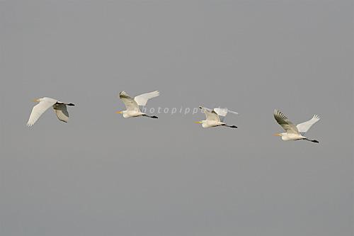 Flugstudie eines Silberreihers (Casmerodius albus)