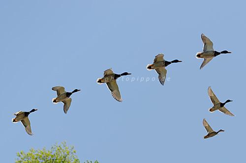 Flugstudie einer männlichen Stockente (Anas platyrhynchos)
