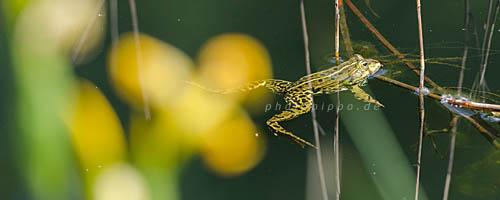 Teichfrosch - im Vordergrund eine Sumpf-Schwertlilie