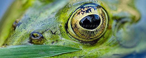 Auge eines Teichfroschs an der Naheinstellgrenze - größer geht nicht