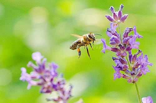 Biene und Lavendelblüte