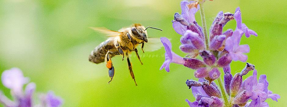 Honigbiene (Apis mellifera) im Landeanflug auf eine Lavendelblü