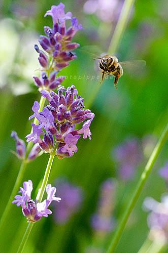 Westliche Honigbiene (Apis mellifera) im Anflug auf eine Lavendelblüte