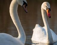 Wildlife Mitteleuropa: Schwäne