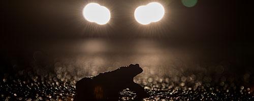 Tempo runter: Krötenwanderung - Erdkröte im Scheinwerferlich