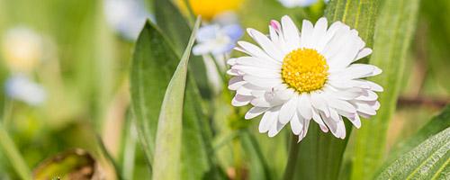 Gänseblümchen in der Sonne, Makro mit Nikon D3200