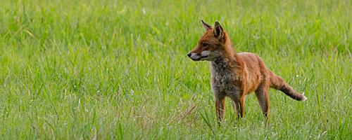 Fuchs in der Morgendämmerung